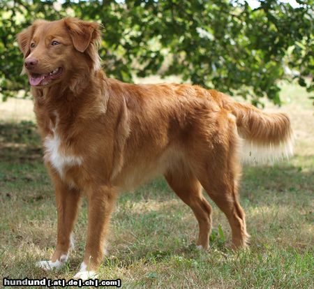 Nova Scotia Duck Tolling Retriever, Little River Duck Dog Fotogalerie ...