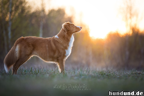 Nova Scotia Duck Tolling Retriever Arduinas Faithful Joy