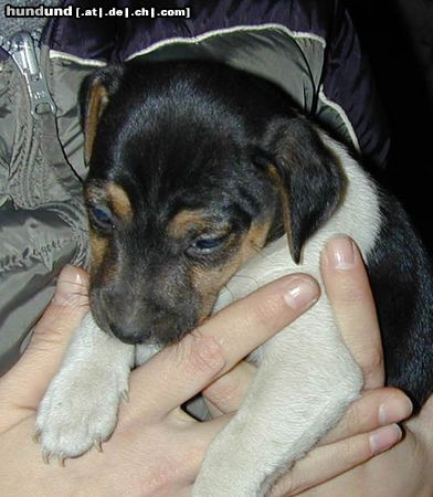 Parson Russell Terrier, Parson Jack Russell Terrier Foto