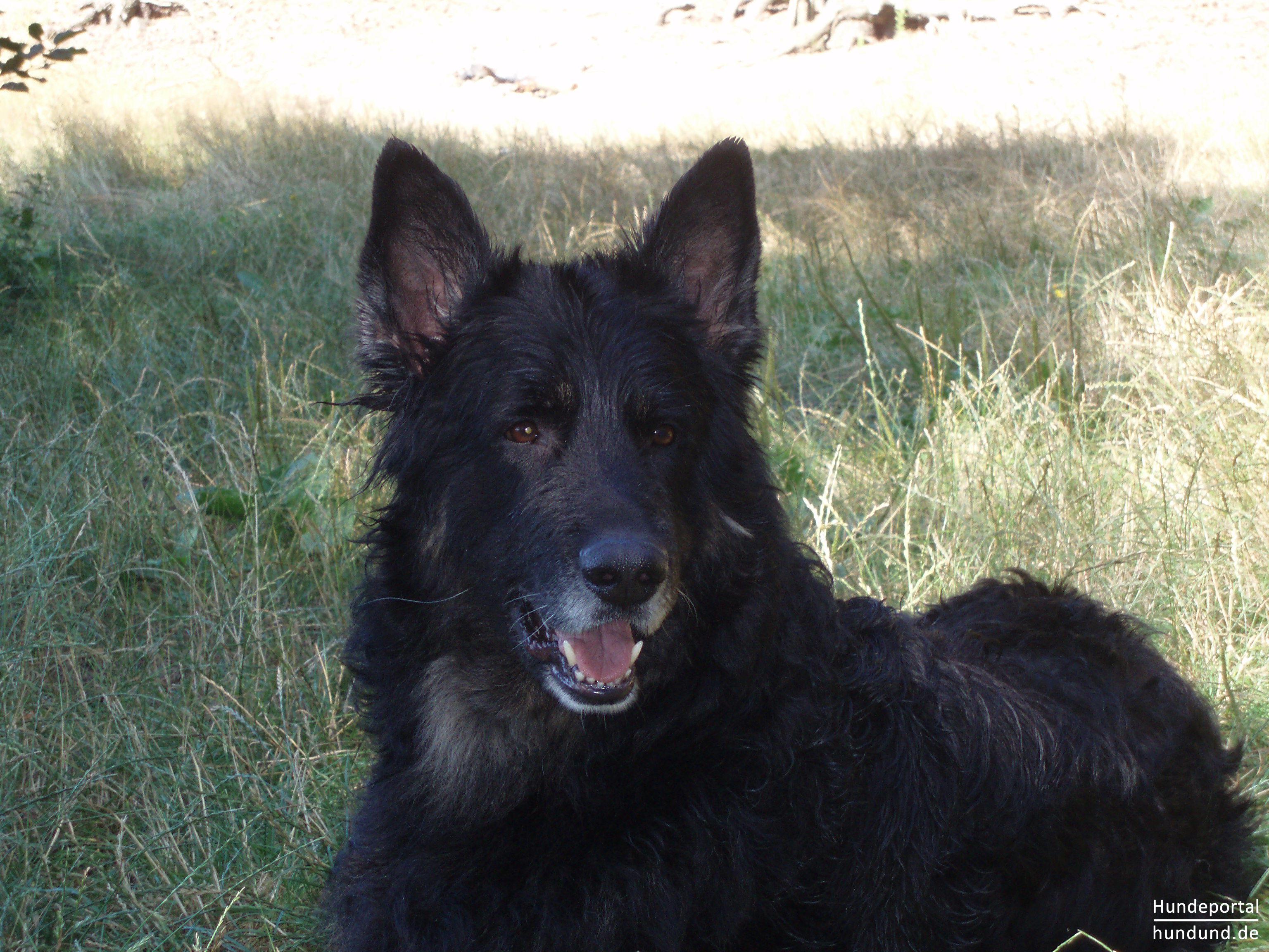 explore schwarzer deutscher schaferhund