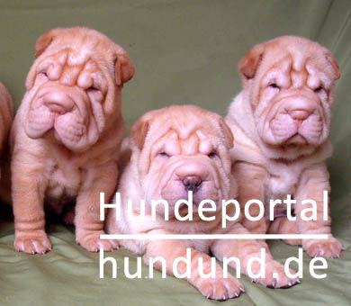 shar pei chinesischer faltenhund foto 19611. Black Bedroom Furniture Sets. Home Design Ideas