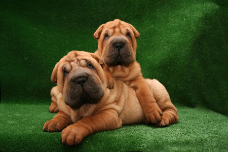 shar pei chinesischer faltenhund foto 31884. Black Bedroom Furniture Sets. Home Design Ideas