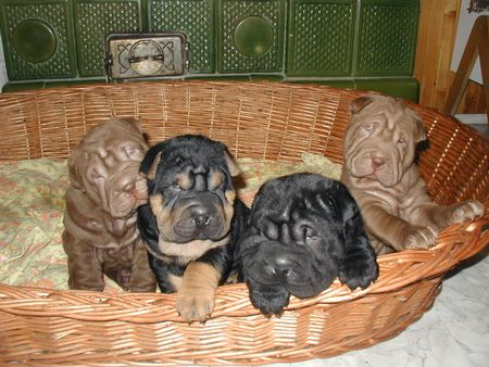 shar pei chinesischer faltenhund foto 1334. Black Bedroom Furniture Sets. Home Design Ideas