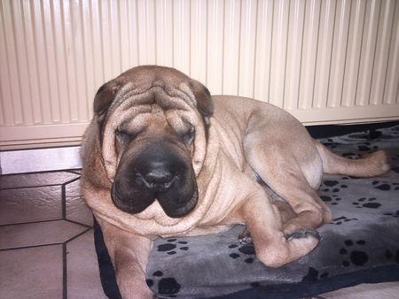 shar pei chinesischer faltenhund foto 40529. Black Bedroom Furniture Sets. Home Design Ideas