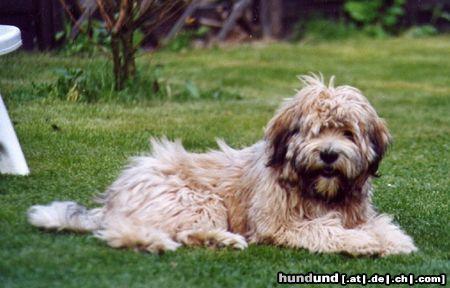 Tibet Terrier Dholi Apso Foto 4127 Hundund De