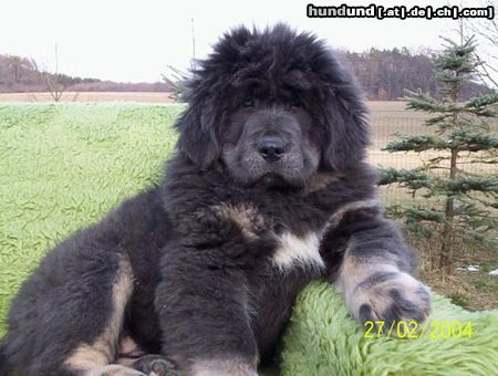 Picture Of A Tibetan Mastiff Dog