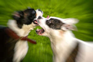 Rottweil: Zwei Terrier beißen kleineren Hund tot