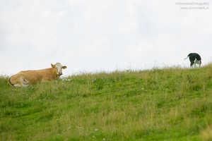 Beim Wandern mit Hund von Kuh verletzt